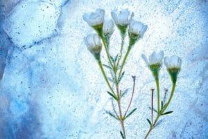 Ochrana rostlin před zimou pomocí juty